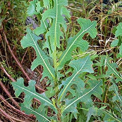 Wild Lettuce - Leaves on Stalk Similar to Dandelion